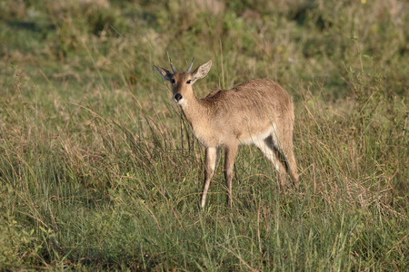 southern: Common or Southern reedbuck,  Redunca arundinum, single female, South Africa