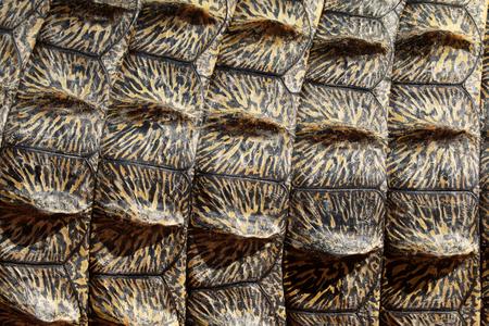 crocodylus: Nile crocodile, Crocodylus niloticus, close up of skin, South Africa