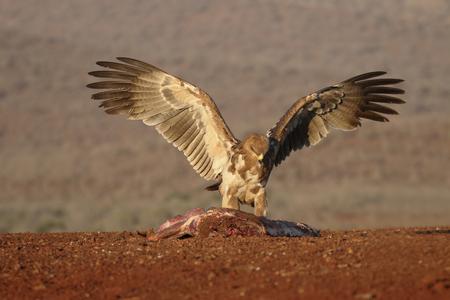 tawny: Tawny eagle, Aquila rapax, single bird on ground,  South Africa, August 2016