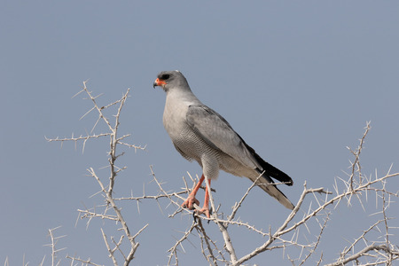Pale chanting-goshawk, Melierax canorus, single bird on branch, South Africa, August 2016