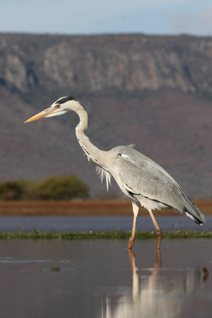 gray herons: Grey heron, Ardea cinerea, single bird in water,  South Africa