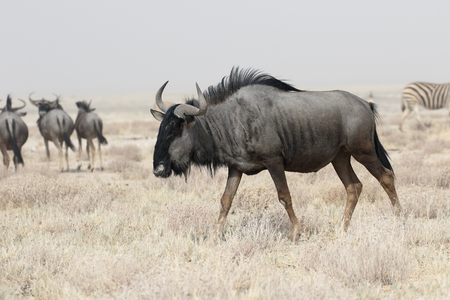 wildebeest: Blue Wildebeest, Connochaetes taurinus, single mammal, South Africa, August 2016 Stock Photo