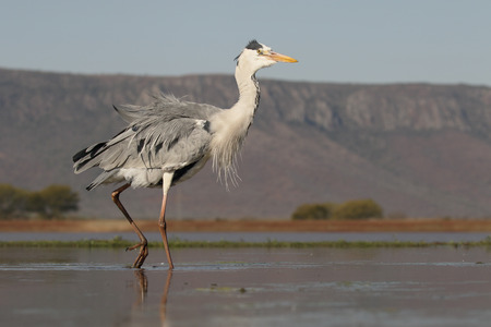 gray herons: Grey heron, Ardea cinerea, single bird in water,  South Africa, August 2016