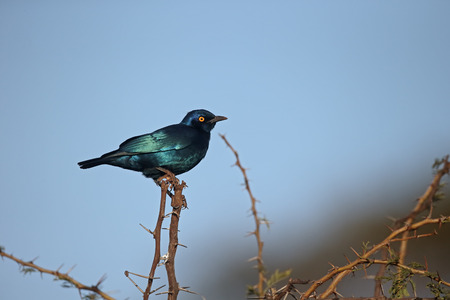 shouldered: Cape-glossy starling, Lamprotornis nitens, single bird on branch, South Africa Stock Photo