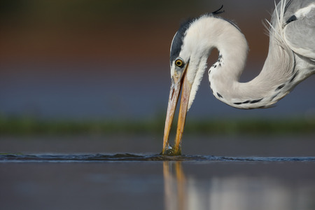 Grey heron, Ardea cinerea, single bird in water,  South Africa