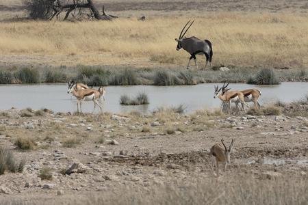 antidorcas: Springbok, Antidorcas marsupialis, group Stock Photo