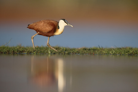 jacana: African jacana, Actophilornis africanus, single by water, South Africa