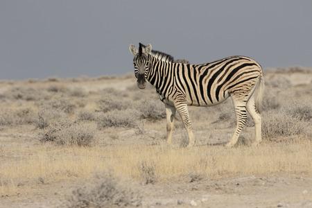 plains: Plains zebra, Common zebra or Burchells zebra, Equus quagga, single mammal, Namibia Stock Photo