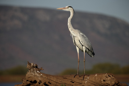 gray herons: Grey heron, Ardea cinerea, single bird by water,  South Africa