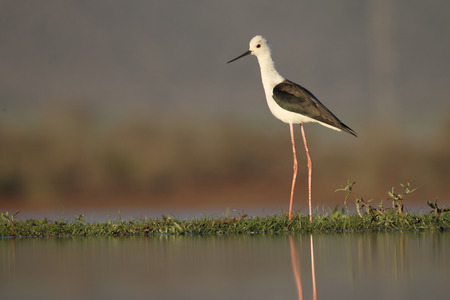 black winged stilt: Black-winged stilt, Himantopus himantopus, single bird in water, South Africa