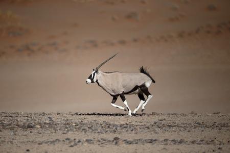 Gemsbok,  Oryx gazella, single mammal, Namibia