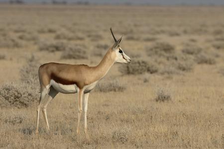 antidorcas: Springbok, Antidorcas marsupialis, single mammal, Namibia Stock Photo