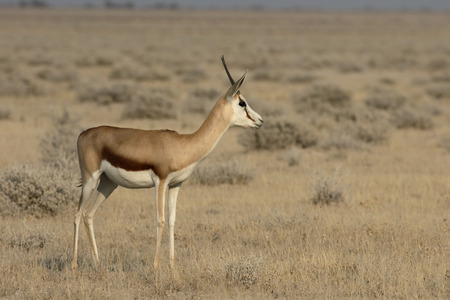 springbok: Springbok, Antidorcas marsupialis, single mammal, Namibia Stock Photo