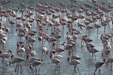 phoenicopterus: Greater flamingo, Phoenicopterus ruber, large flock at Walvis Bay, Namibia
