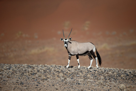 mammal: Gemsbok,  Oryx gazella, single mammal, Namibia