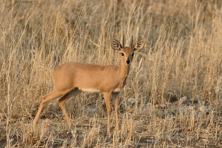 campestris: Steenbok, Raphicerus campestris, single mammal, Namibia Stock Photo