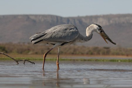 gray herons: Grey heron, Ardea cinerea, single bird with fish in water,  South Africa, August 2016 Stock Photo