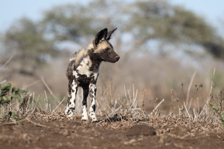painted dog: African cape hunting dog, Lycaon pictus, single mammal, South Africa
