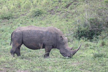 White rhinoceros, Diceros simus, single mammal,  South Africa