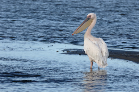 onocrotalus: Eastern-white pelican, Pelecanus onocrotalus, single bird by water, South Africa