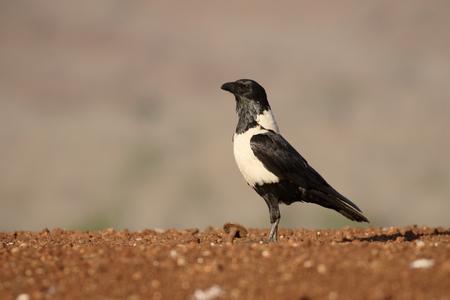 pied: Pied crow, Corvus albus, single bird on ground, South Africa