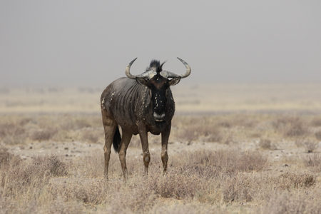 wildebeest: Blue Wildebeest, Connochaetes taurinus, single mammal, South Africa