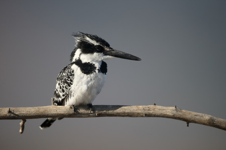 pied: Pied kingfisher, Ceryle rudis, single bird on branch, South Africa