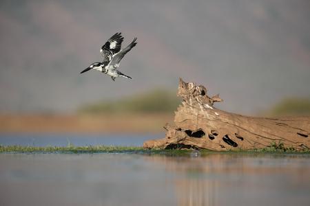 pied: Pied kingfisher, Ceryle rudis, bird in flight, South Africa Stock Photo
