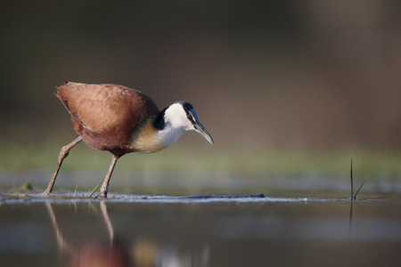 jacana: African jacana, Actophilornis africanus, single in water, South Africa