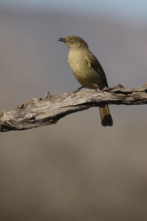 sombre: Sombre greenbul, Andropadus importunus, single bird on branch, South Africa