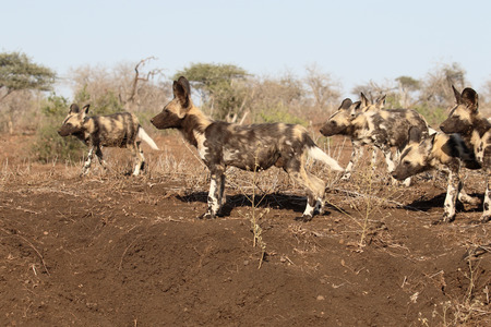 lycaon pictus: African cape hunting dog, Lycaon pictus, pack of dogs, South Africa