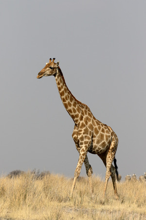 giraffa: Giraffe, Giraffa camelopardalis, single mammal, Namibia