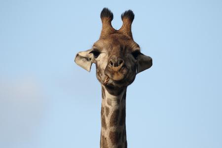 giraffa: Giraffe, Giraffa camelopardalis, head shot, Namibia Stock Photo