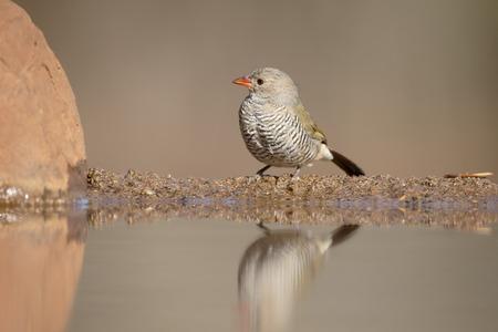 melba: pytilia de alas verdes, Pytilia melba, solo pájaro por el agua, Sudáfrica