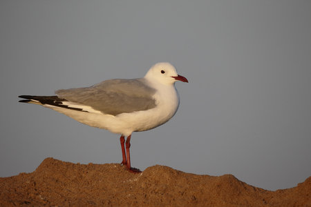 chroicocephalus: Hartlaubs gull, Chroicocephalus hartlaubii, single bird on ground, South Africa Stock Photo