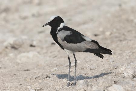 blacksmith: Blacksmith plover or lapwing, Vanellus armatus, single bird on floor, South Africa Stock Photo