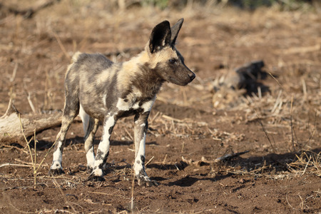 painted dog: African cape hunting dog, Lycaon pictus, single mammal, South Africa, August 2016