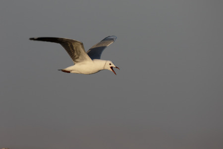chroicocephalus: Hartlaubs gull, Chroicocephalus hartlaubii, single bird in flight, South Africa