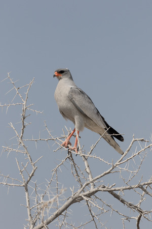 Pale chanting-goshawk, Melierax canorus, single bird on branch, South Africa Stock Photo