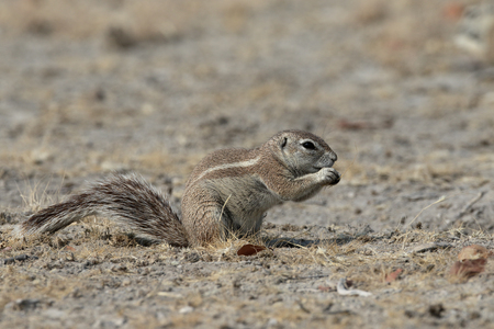 xerus inauris: Cape ground-squirrel, Xerus inauris, Single mammal on floor, South Africa Stock Photo
