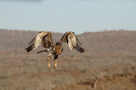 tawny: Tawny eagle, Aquila rapax, single bird in flight,  South Africa Stock Photo