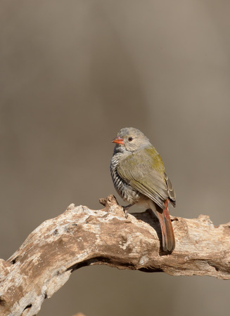 melba: Pytilia de alas verdes, Pytilia melba, un solo pájaro en la rama, Sudáfrica
