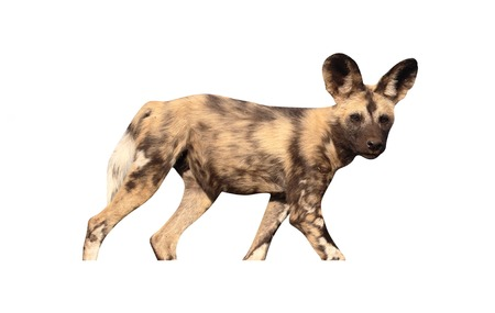 lycaon pictus: African cape hunting dog, Lycaon pictus, single mammal, South Africa