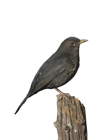 turdus: Blackbird, Turdus merula, single male on lawn