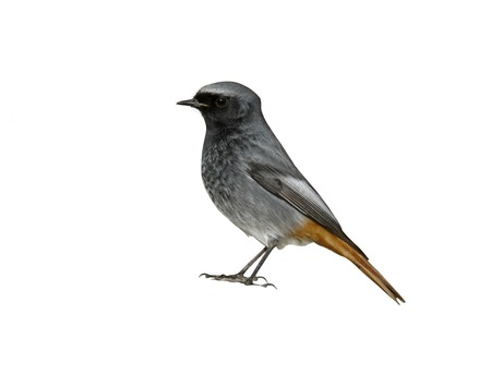 Black redstart, Phoenicurus ochruros, single male on rock, Somerset Stock Photo