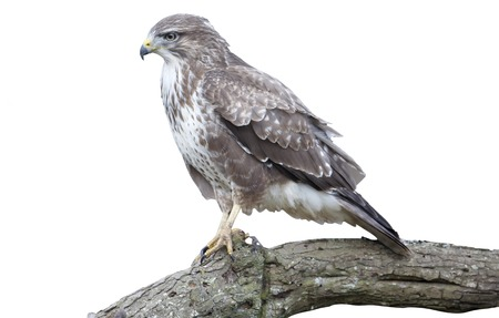 zopilote: Common buzzard, Buteo buteo, single bird on branch with pheasant, Warwickshire