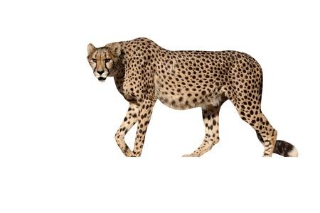 jubatus: Cheetah, Acinonyx jubatus, single mammal, South Africa Stock Photo