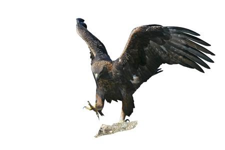 aguila real: Águila real, Aquila chrysaetos, ave única en la roca, Bulgaria Foto de archivo