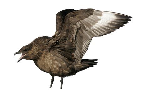 stercorarius: Great skua, Stercorarius skua, single bird by water, Falklands