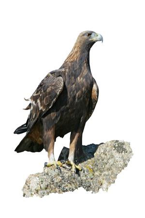 chrysaetos: Golden eagle, Aquila chrysaetos, single bird on rock, Bulgaria Stock Photo